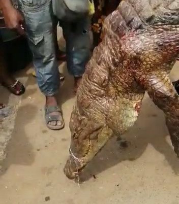 Anambra: Villagers gather to stare in amazement at huge crocodile killed -TopNaija.ng